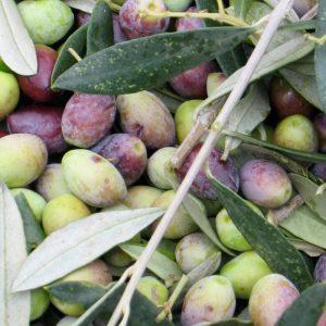 tiny-olive-koroneiki